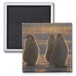 Forsteri de los pingüinos, del Aptenodytes de empe Iman De Nevera