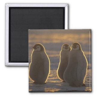 Forsteri de los pingüinos, del Aptenodytes de empe Imán Cuadrado