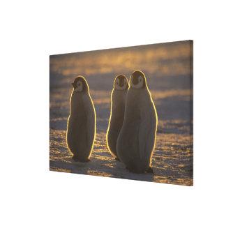 Forsteri de los pingüinos, del Aptenodytes de Lona Estirada Galerías