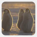 Forsteri de los pingüinos, del Aptenodytes de Pegatina Cuadrada
