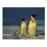 Forsteri de los pingüinos, del Aptenodytes de Postales