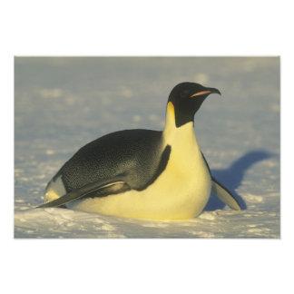 Forsteri del pingüino, del Aptenodytes de emperado Fotografías