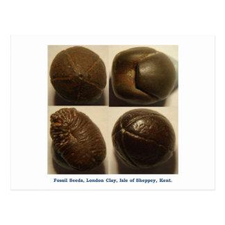Fossilised pyrite seeds postcard