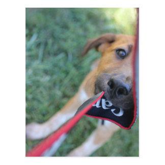 Foster Dog Tug of War Postcard