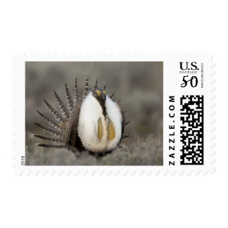 Foster Flats, Oregon, a Greater Sage Grouse Postage