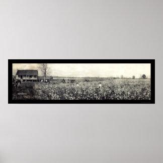 Foto 1907 de la cosecha del rey algodón poster