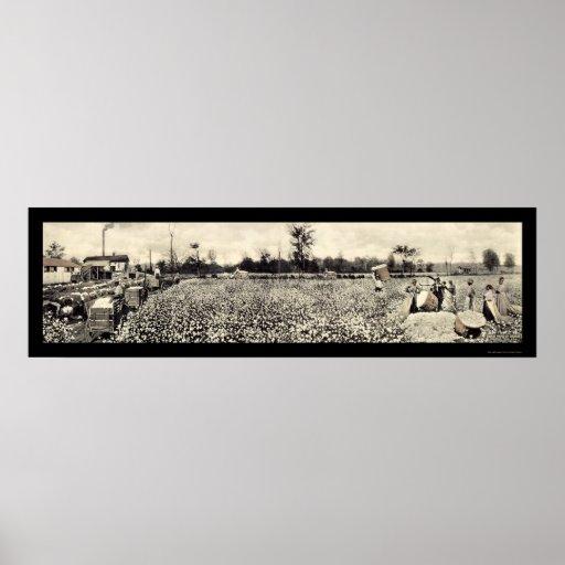 Foto 1915 de la cosecha de algodón póster