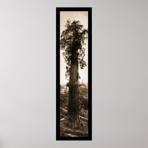 Foto 1915 de la maravilla de la secoya gigante poster