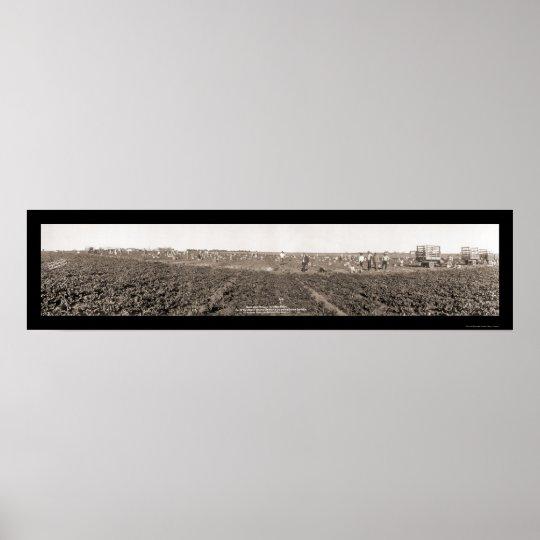 Foto 1928 de la cosecha de la espinaca póster
