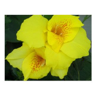 Foto amarilla de la flor de los lirios de Cannas Tarjetas Postales