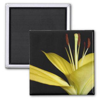 Foto amarilla de las flores de los lirios de la fl imanes para frigoríficos