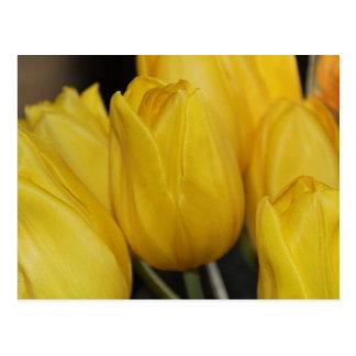 Foto amarilla del tulipán tarjetas postales