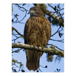 Foto atada rojo del halcón postal