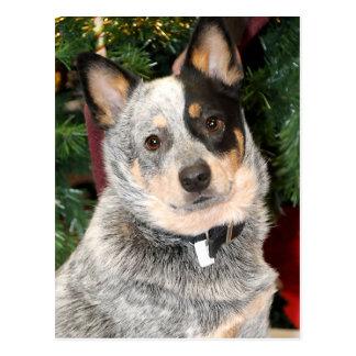 Foto australiana del perro del ganado tarjetas postales