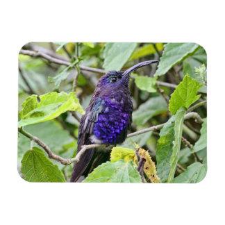 Foto azul del colibrí imanes de vinilo