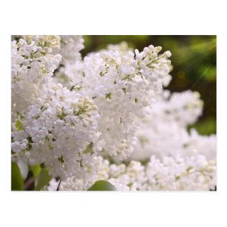 Foto blanca bonita de las lilas postales