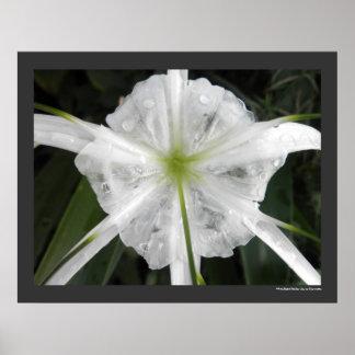 Foto blanca de la flor de los lirios del lirio de  póster