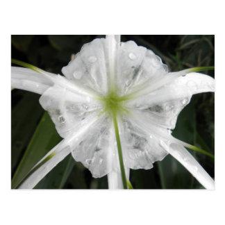 Foto blanca de la flor de los lirios del lirio de postal