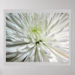 Foto blanca de las flores de las momias de la flor poster