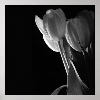 Foto blanca de los tulipanes en fondo negro póster