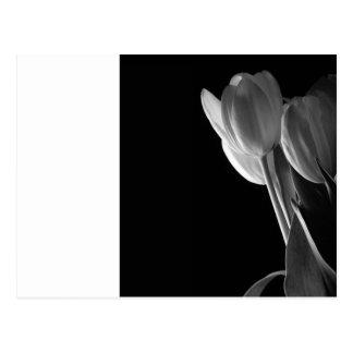 Foto blanca de los tulipanes en fondo negro tarjetas postales