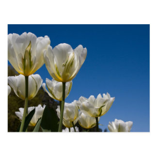 Foto blanca de los tulipanes