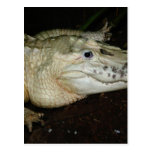 Foto blanca del cocodrilo del albino, imagen del c tarjetas postales