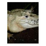 Foto blanca del cocodrilo del albino, imagen del postal