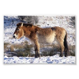 Foto - caballo de Przewalski Cojinete