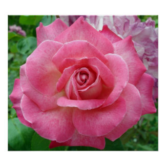 Foto color de rosa rosada. (Familia: Rosaceae, esp Poster