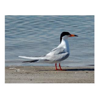 Foto común de la golondrina de mar postales