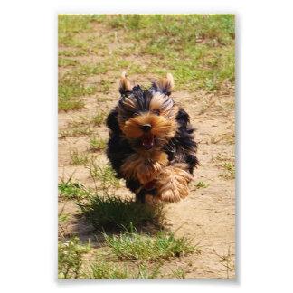Foto corriente de Yorkshire Terrier Fotografías
