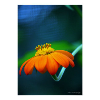 Foto de color anaranjada vibrante de la flor póster