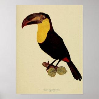 Foto de color toucan throated amarilla del vintage posters