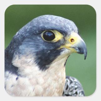 Foto de la cara del halcón de peregrino pegatina cuadrada
