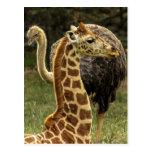 Foto de la fauna de la jirafa y de la avestruz tarjeta postal