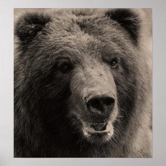 Foto de la fauna del oso grizzly de Brown Póster