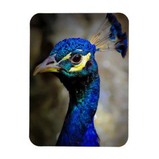 Foto de la fauna del pavo real imán