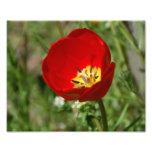 Foto de la flor del tulipán