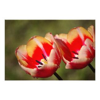 Foto de la flor del tulipán fotografías
