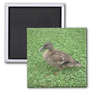 Foto de la hembra del pato del pato silvestre imán de frigorifico