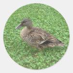 Foto de la hembra del pato del pato silvestre pegatina redonda