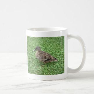 Foto de la hembra del pato del pato silvestre taza