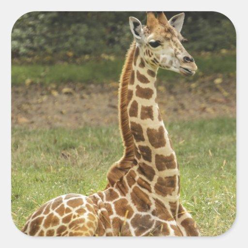 Foto de la jirafa pegatina cuadrada