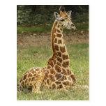 Foto de la jirafa tarjeta postal