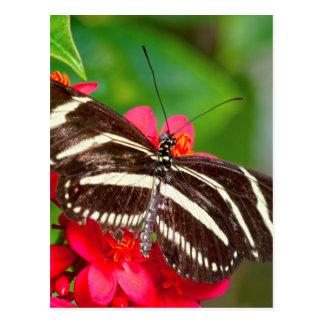 Foto de la naturaleza de la mariposa de Longwing Postal