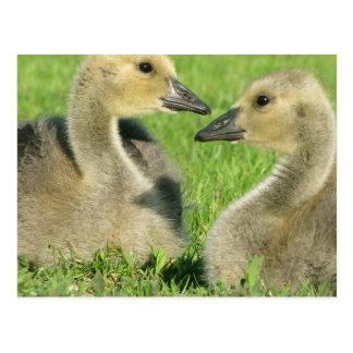 Foto de la original de los pájaros del amor tarjeta postal