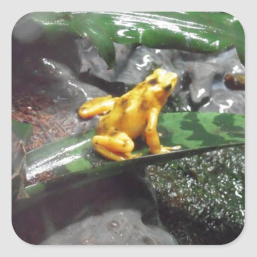 Foto de la rana del dardo del veneno pegatinas cuadradas