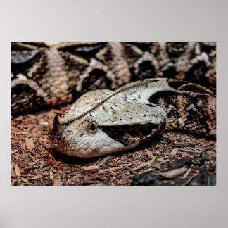 Foto de la serpiente de la víbora de Gaboon Póster