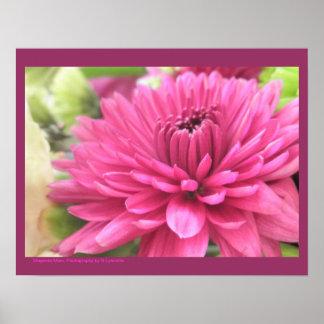 Foto de las flores de las momias de la flor del cr póster